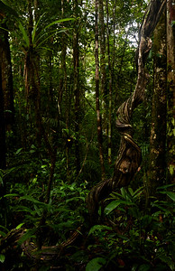 Rainforest liana twists and turns to the canopy