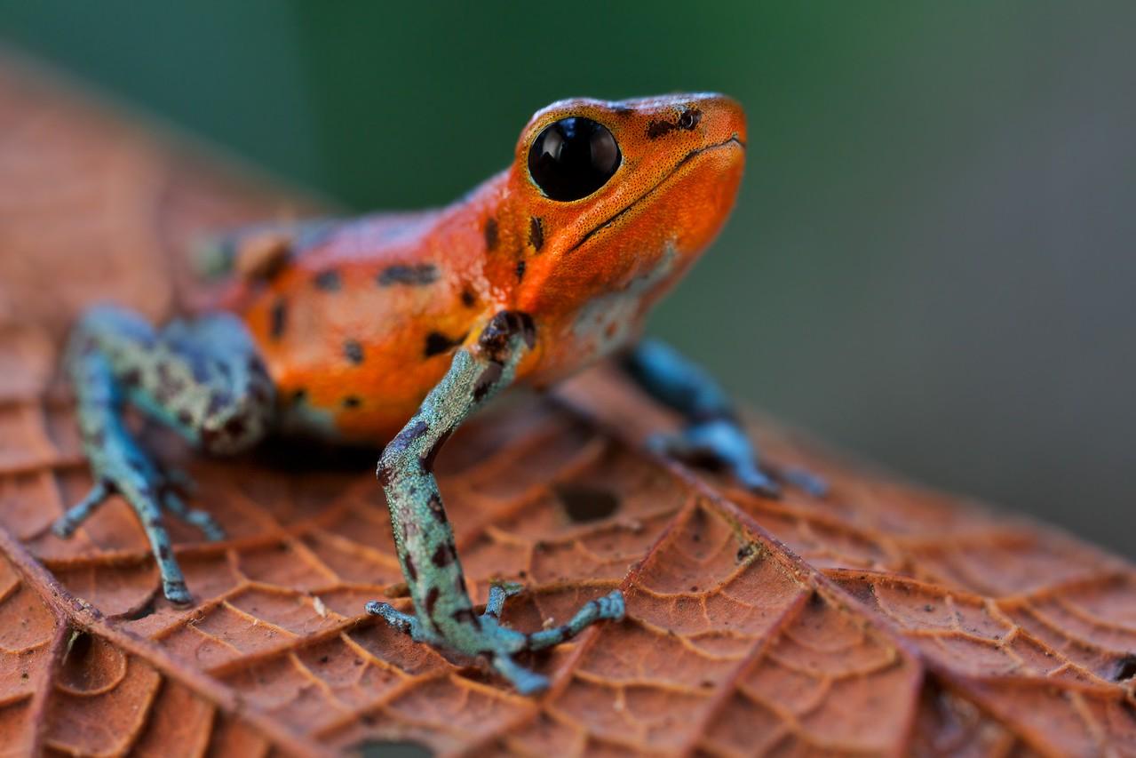 "Strawberry poison arrow frog (Oophaga pumilio) ""San Cristobal"""