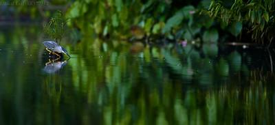 Striated heron fishing