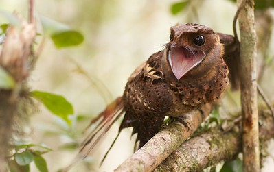 Female collared nightjar (Gactornis enarratus)  calling from perch