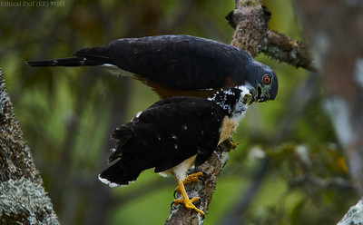 Double-toothed kite (Harpagus bidentatus) mother feeding young