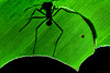 Backlit leafcutter ant (Atta sp.)