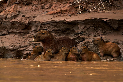 Capybara babies huddling around their mother after a Puma attack