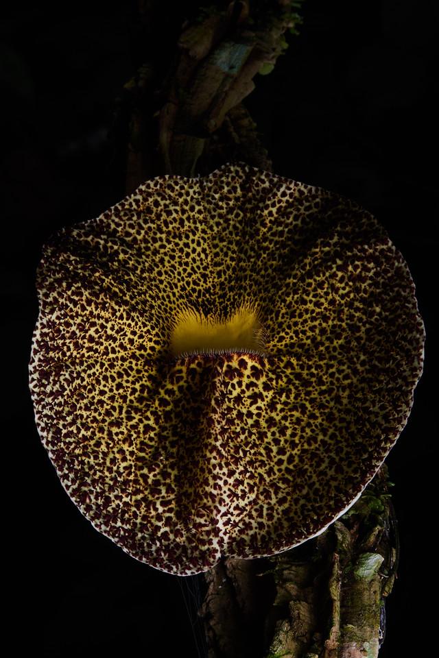 Dutchman's pipe flower (Aristolochia sp.)