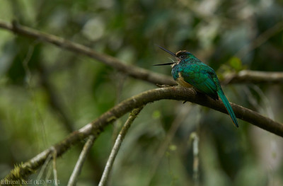 White-chinned jacamar calling