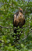 Hoatzin mother sheltering chick from rain
