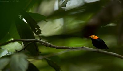 Yellow-headed manakin (Chloropipo flavicapilla)