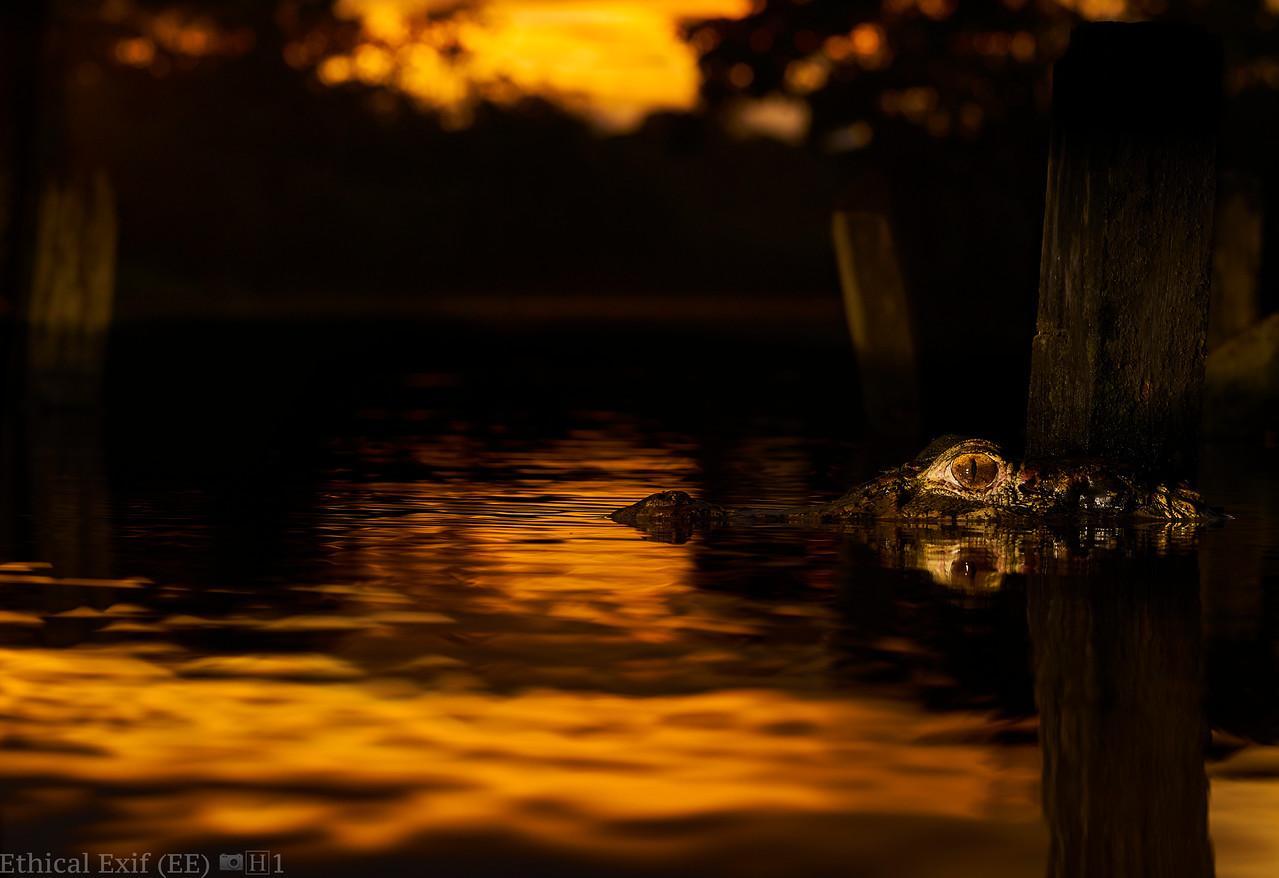 Black caiman (Melanosuchus niger) at sunset