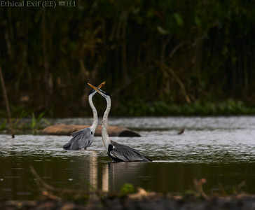 Cocoi heron (Ardea cocoi) stretching display