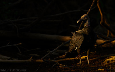 Black vulture at sunset