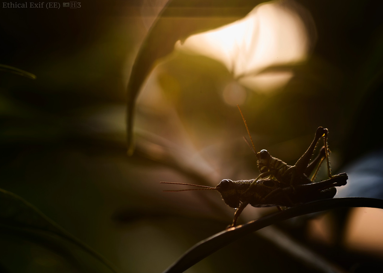 Mating grasshoppers at sunset