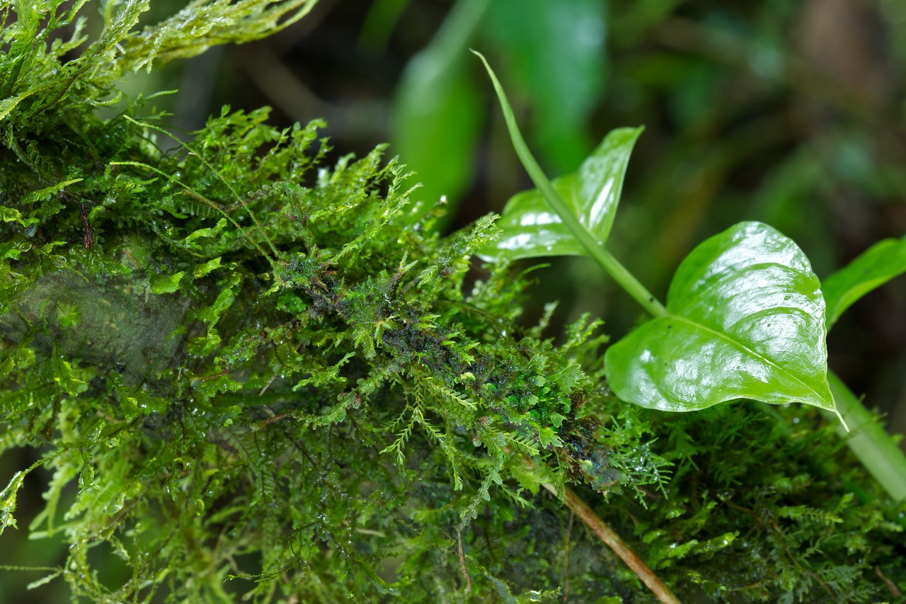 Moss camouflaged stick insect
