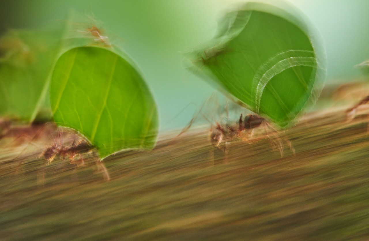 Leafcutter ants in motion (Atta sp.)