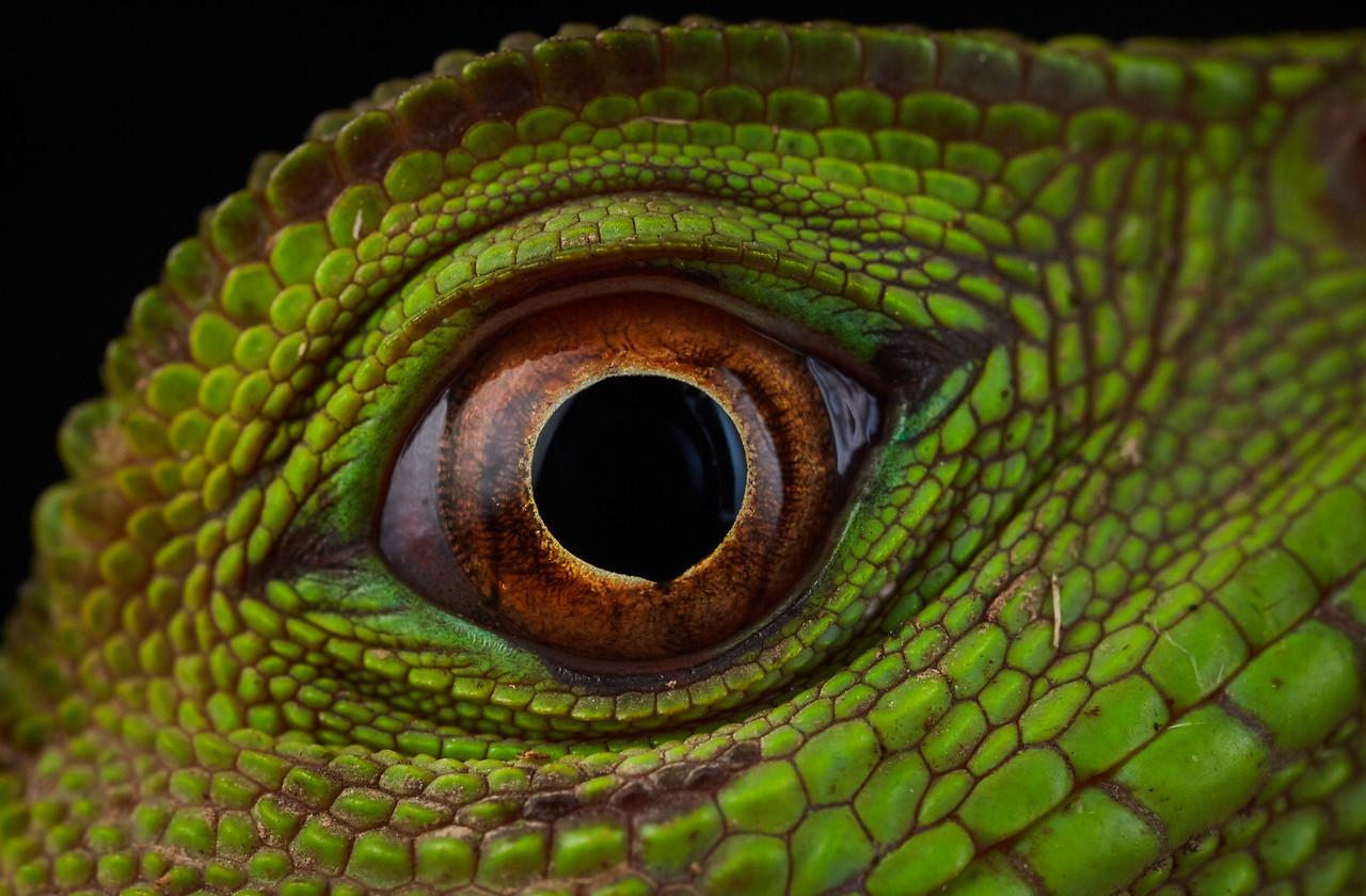 Amazon dwarf iguana (Enyalioides laticeps) eye