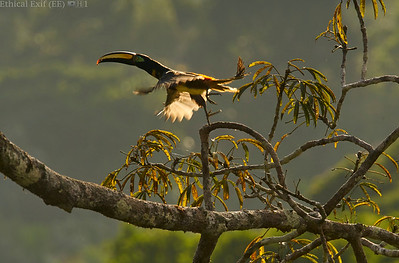 Many-banded aracari taking flight (Pteroglossus plurocinctus)