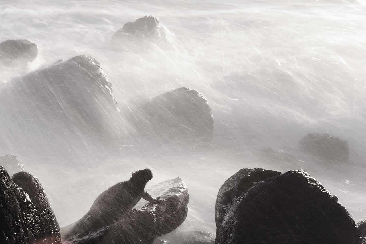 Marine iguana pummelled by waves