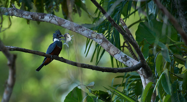 Ringed kingfisher (Megaceryle torquata) with prey