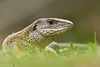 Male whip-tail lizard (Ameiva sp.)