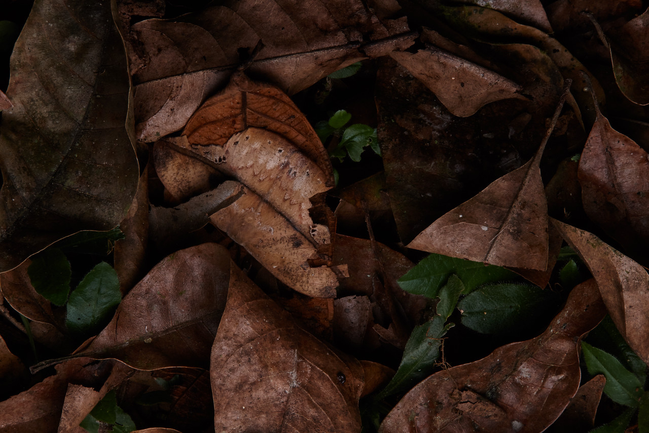 Camouflaged leaf moth