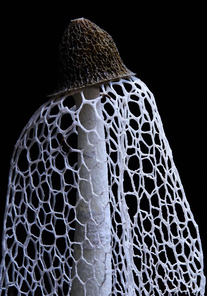 Maiden's veil fungus (Phallus indusiatus)
