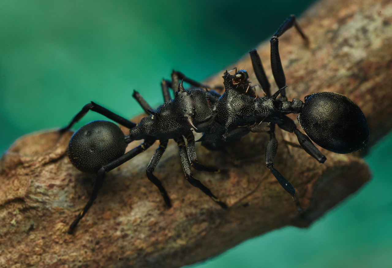 Gliding ant-mimicking crab spider (Aphantochilus rogersii) with prey