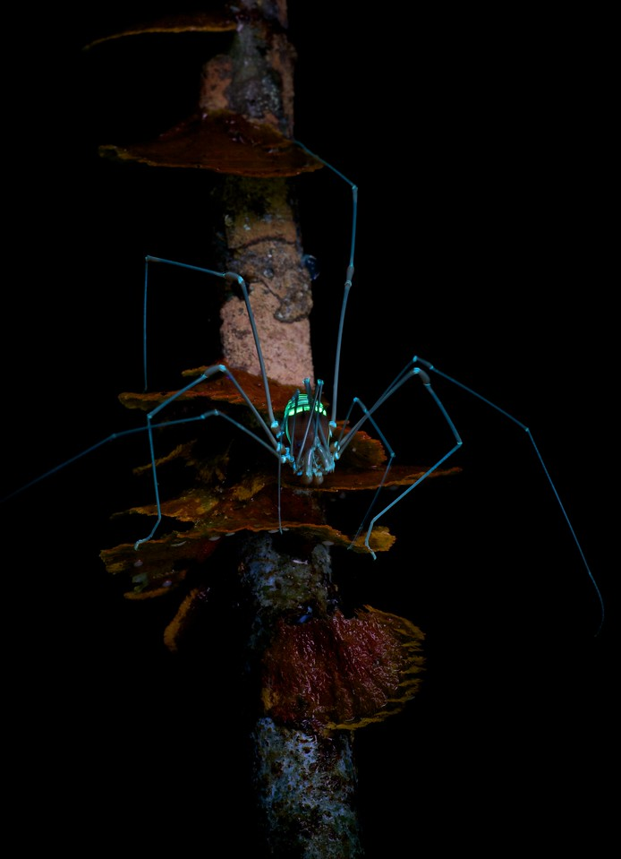 Cosmetid harvestman under UV light
