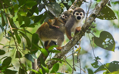 Squirrel monkey mother (Saimiri sp.) carrying baby