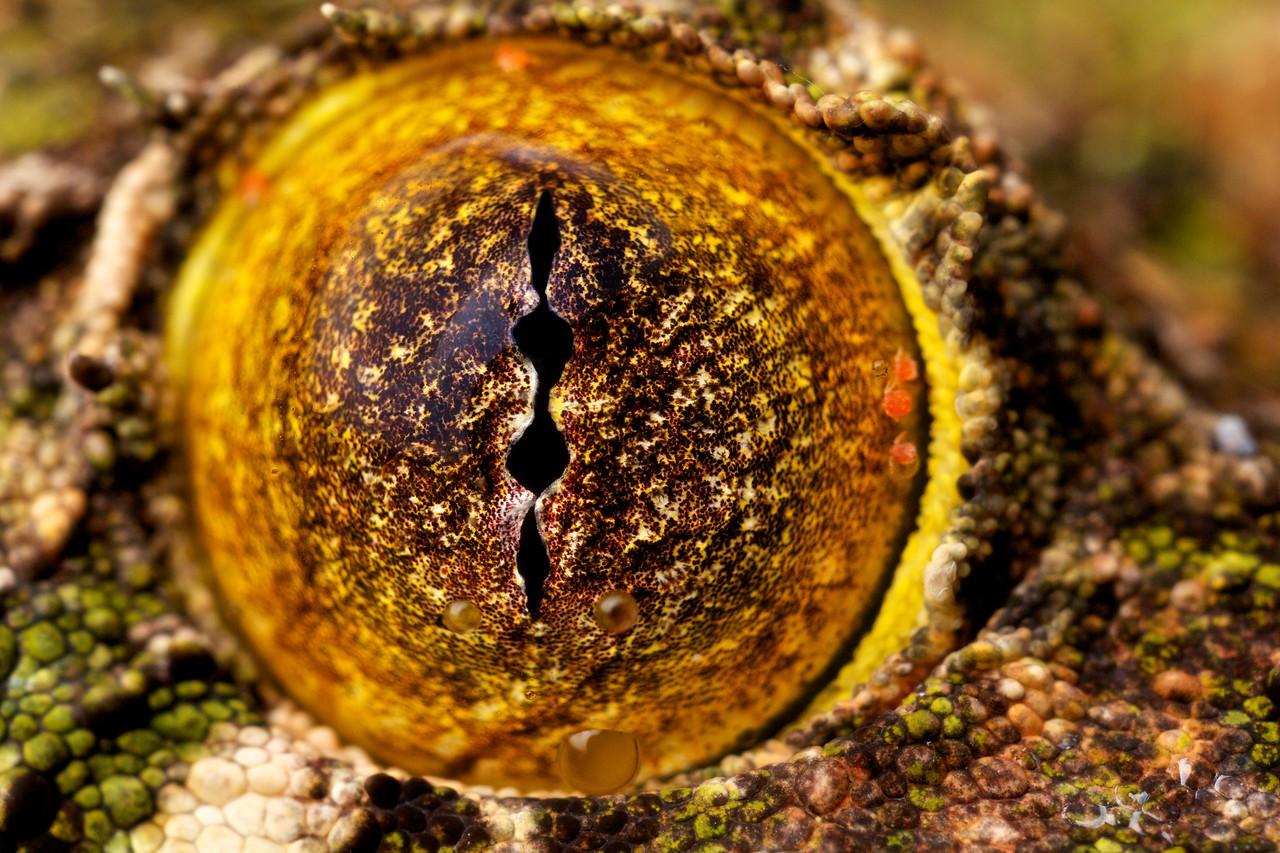 Common leaf-tailed gecko (Uroplatus sikorae) eye