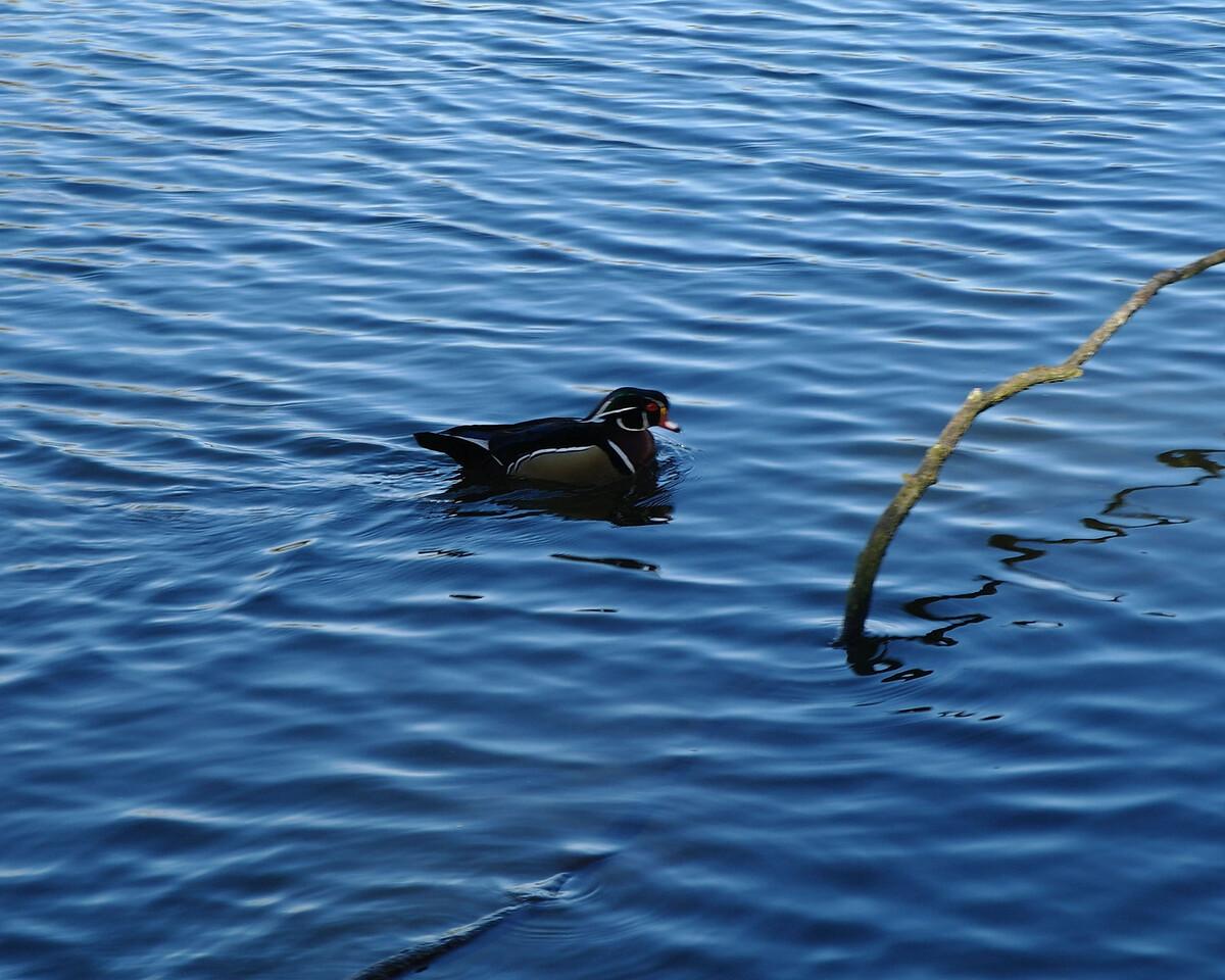 1515 Wood duck
