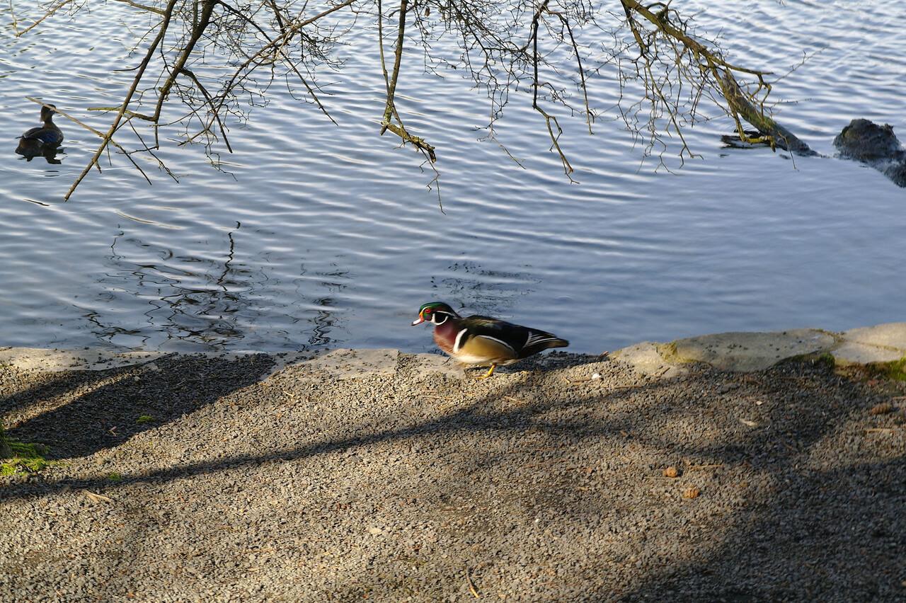 1524 Wood duck