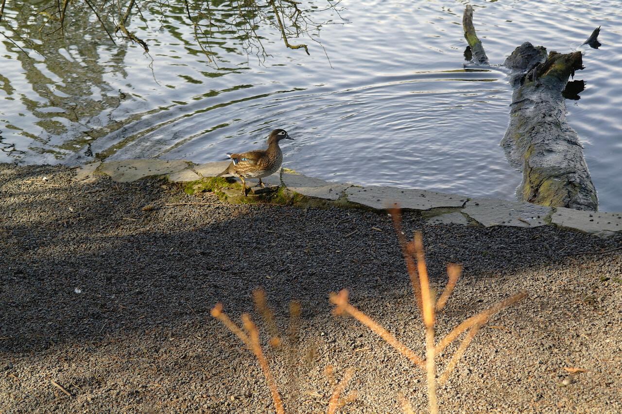 1529 Wood duck