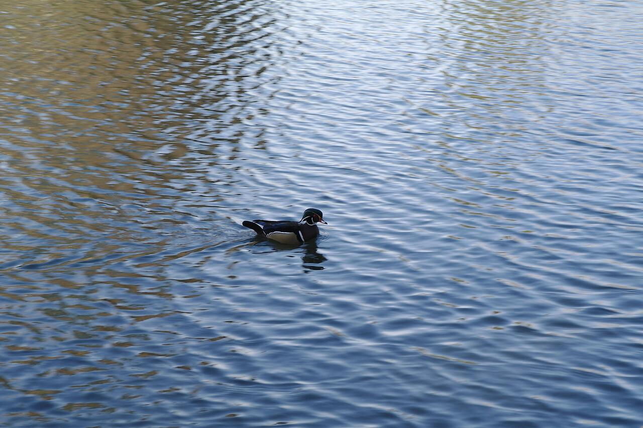 1514 Wood duck