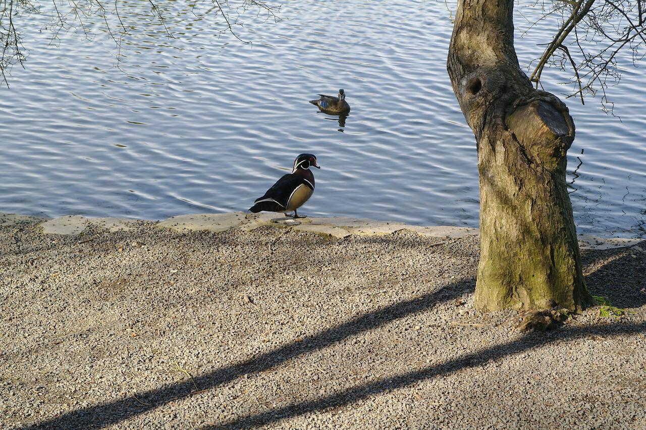 1526 Wood duck