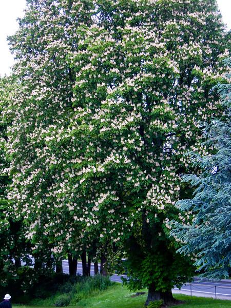 1571 Chestnut Trees