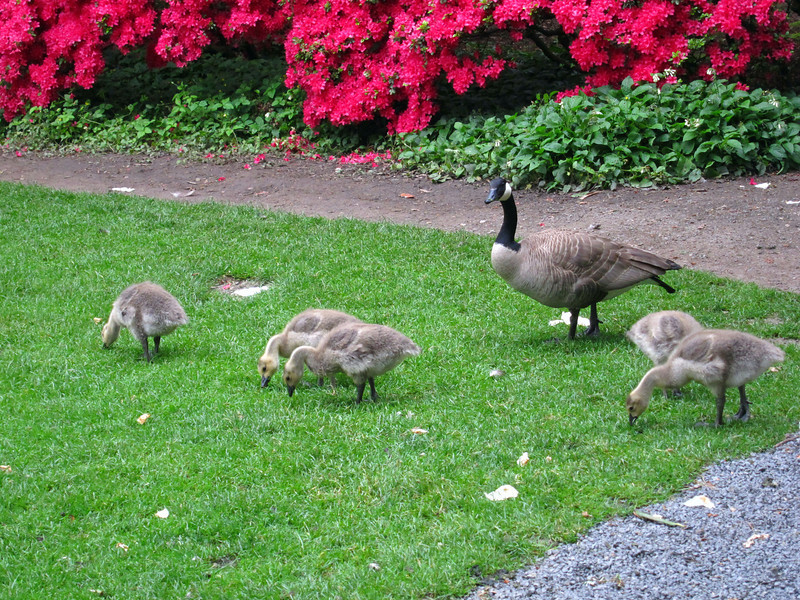 1601 Canada Geese