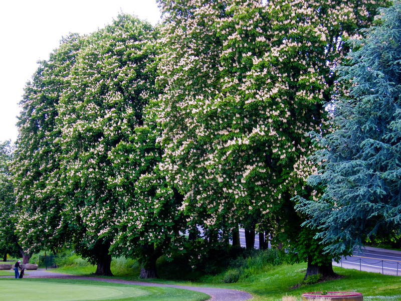 1570 Chestnut Trees