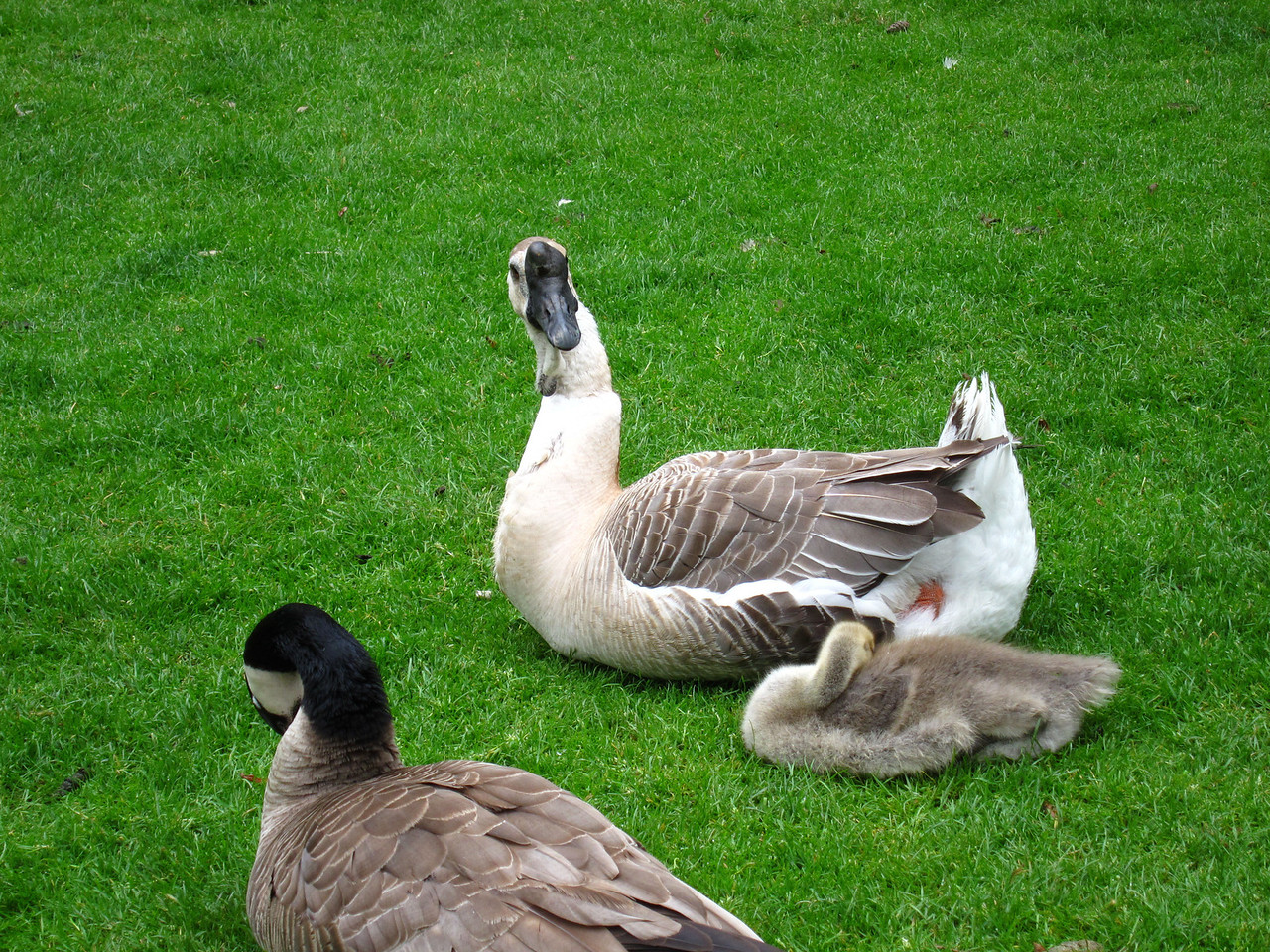 1607 African and Canadian Geese