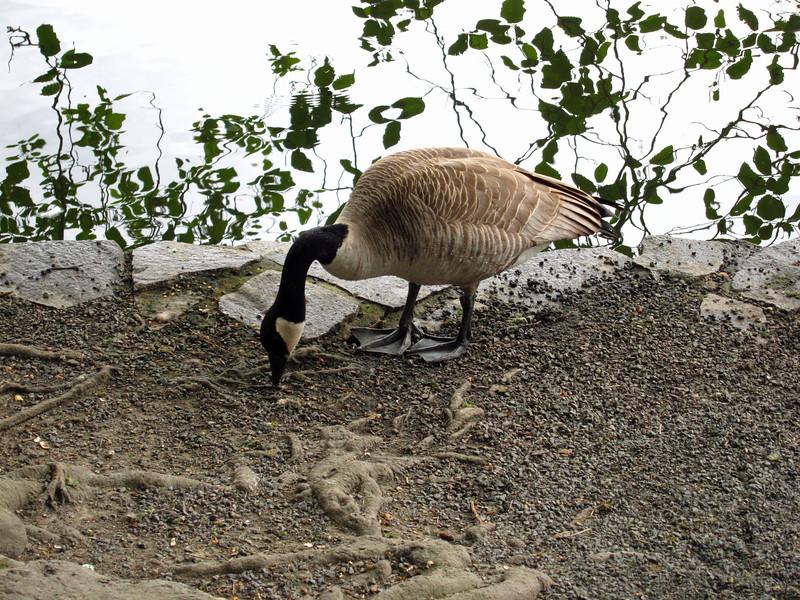 1592 Canada Goose