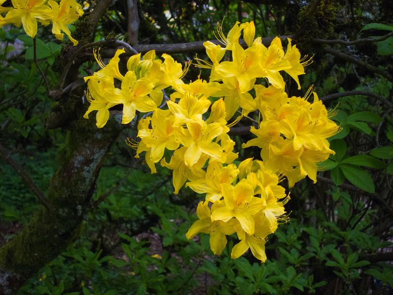 1581 Crystal Springs Rhododendron Garden