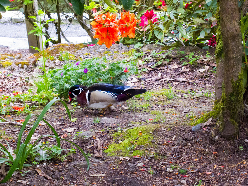 1579 Wood Duck