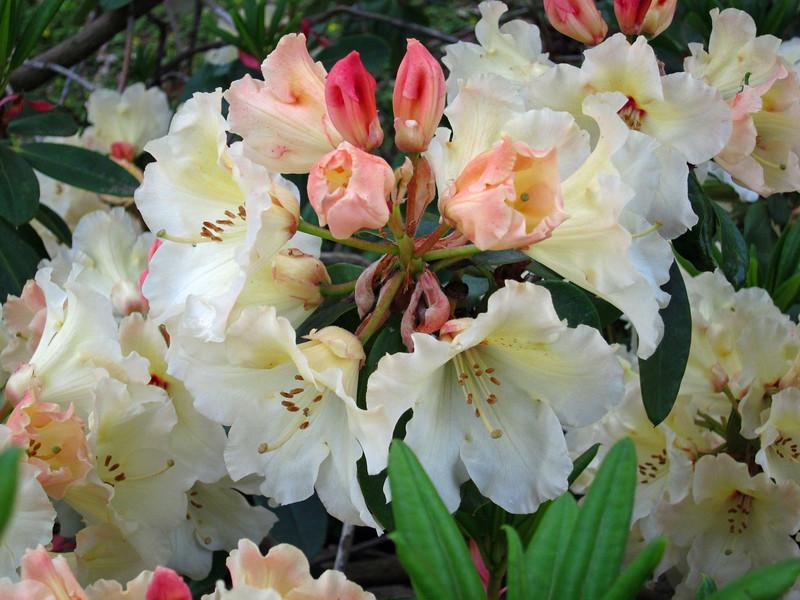 1591 Crystal Springs Rhododendron Garden