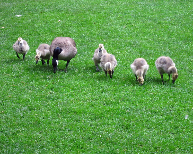 1604 Canada Geese