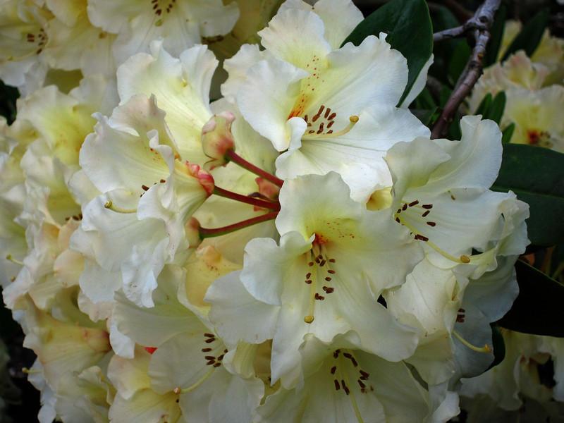 1583 Crystal Springs Rhododendron Garden