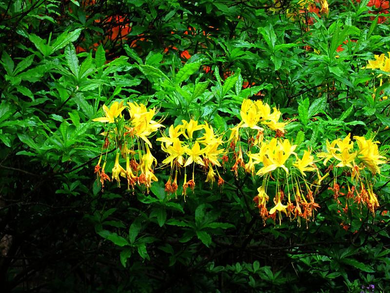 1605 Crystal Springs Rhododendron Garden