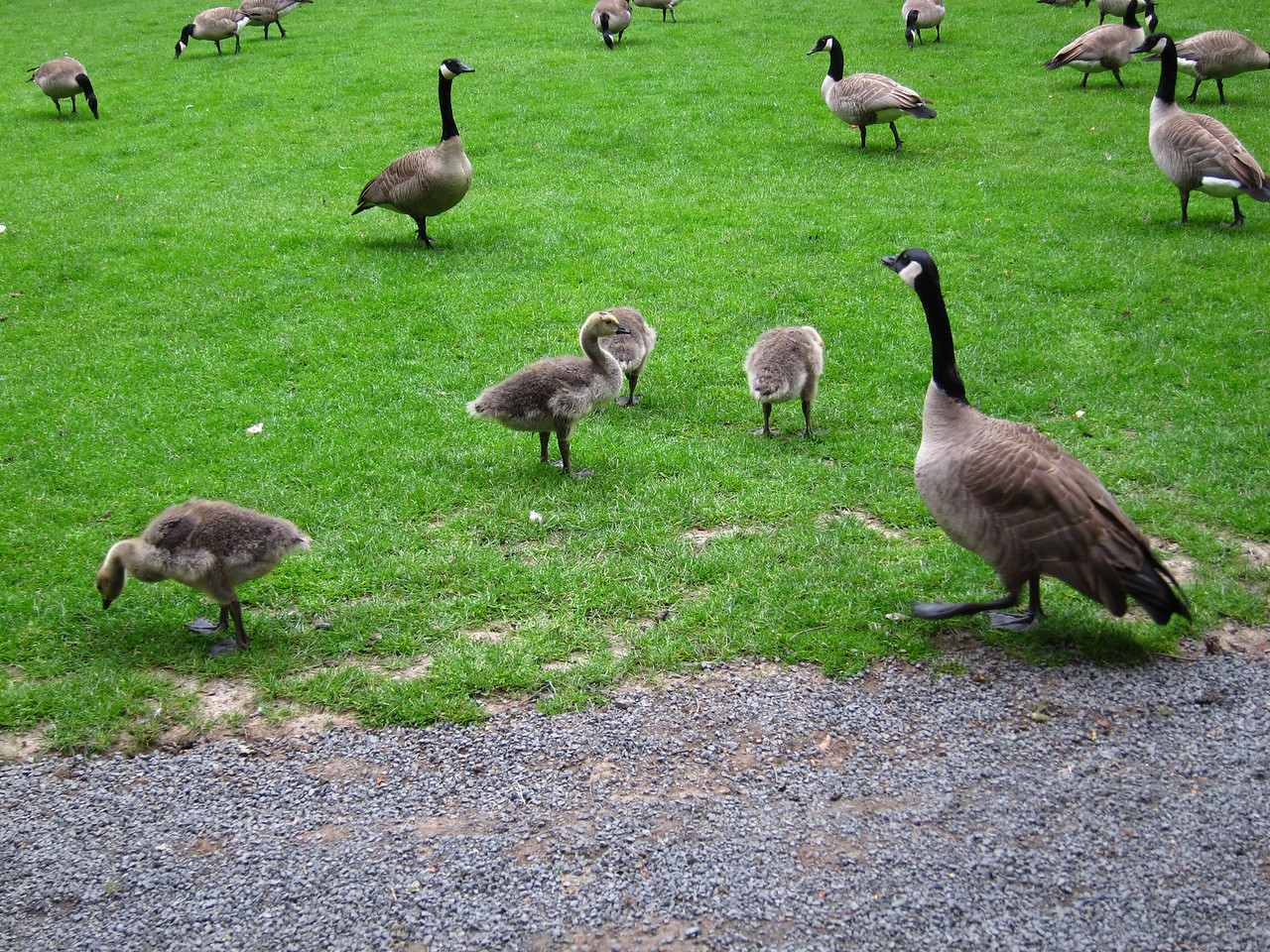 1598 Canada Geese
