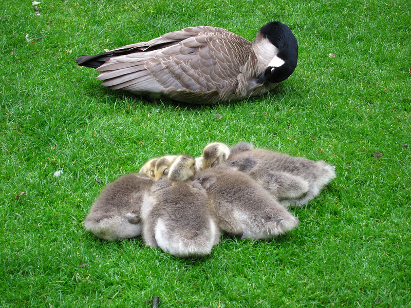 1614 Canadian Geese