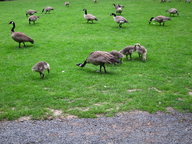 1599 Canada Geese