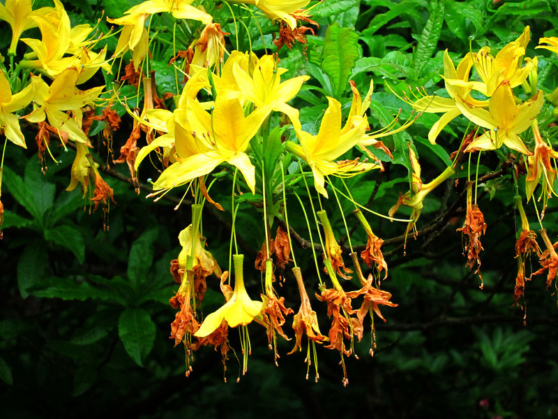 1606 Crystal Springs Rhododendron Garden