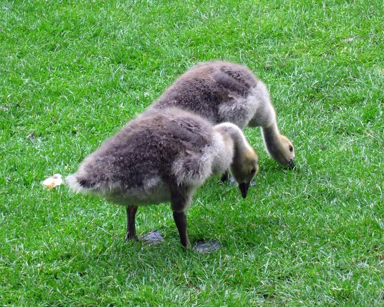 1597 Canada Geese Junveniles