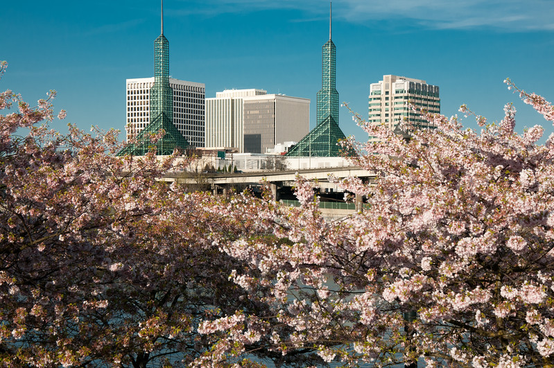 Cherry Blossoms facing the convention center